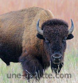 recettes bison