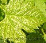 recettes feuilles-de-vigne