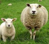 recettes mouton